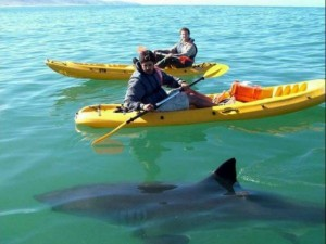 kayak with shark